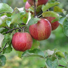 jonagold jabuka