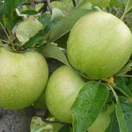Mucu jabuka