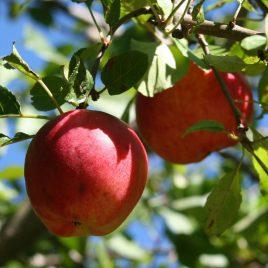 prima jabuka