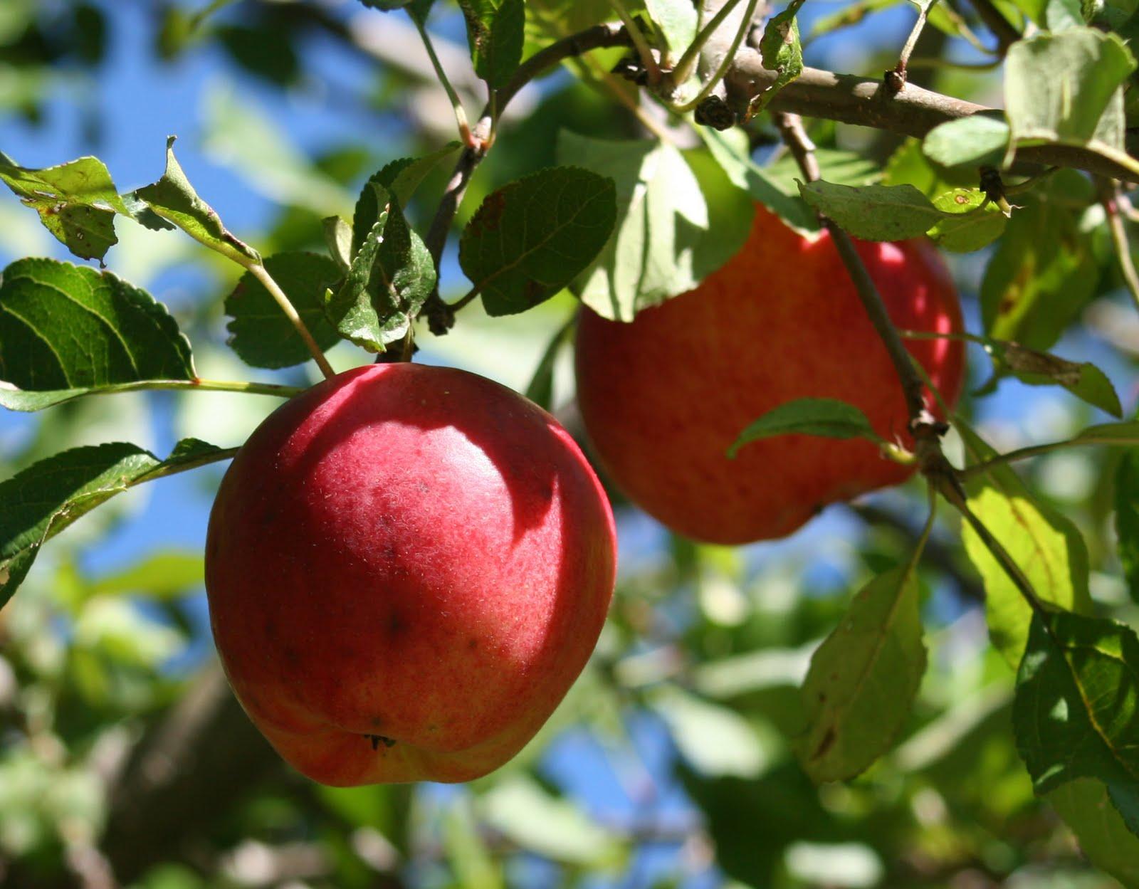 Яблоня прима описание фото отзывы