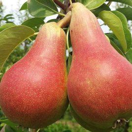 Plodovi kruške karmen