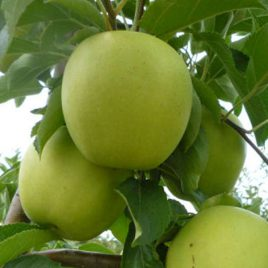 Sadnica jabuke Rajnders