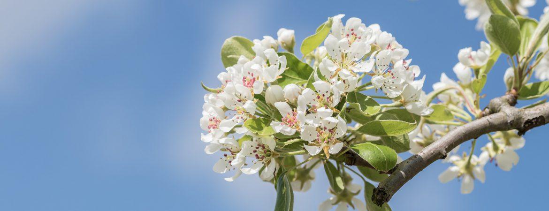 cvetanje voca