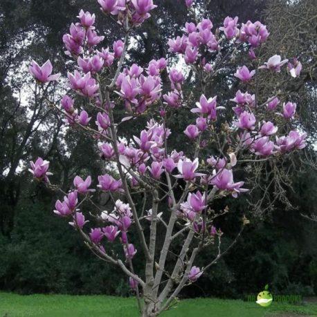 Alexandrina magnolia