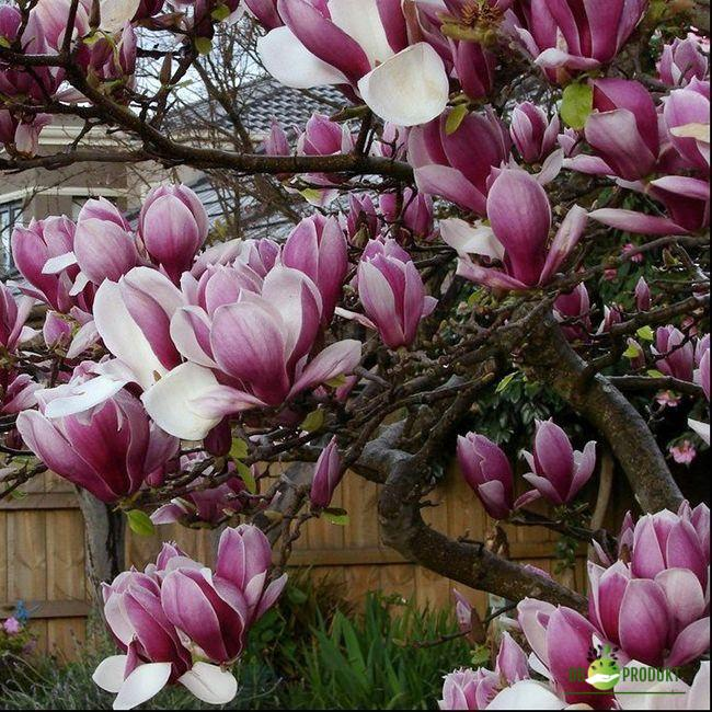 Rustična magnolija