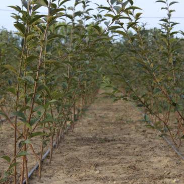 Podloge za sadnju jabuka